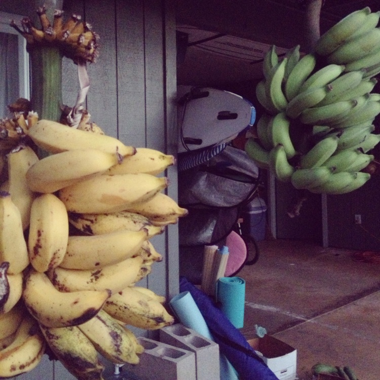 Out front of Michaelle's property, an ample supply of surfboards, snorkels and fresh bananas.