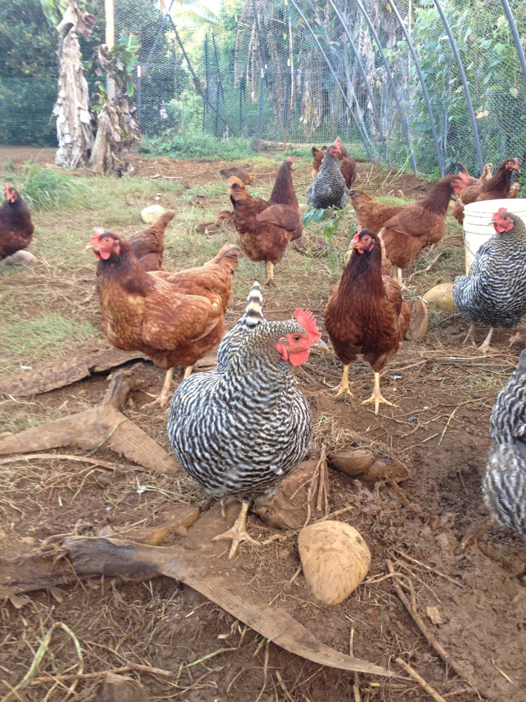 Her beautiful chickens that provide much of the protein for the property.